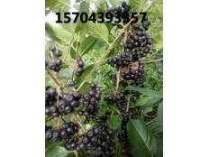 黑果花楸丰产结果