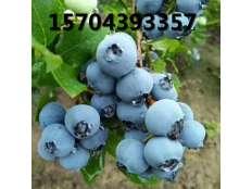 蓝莓果实成熟
