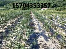 蓝莓种植区