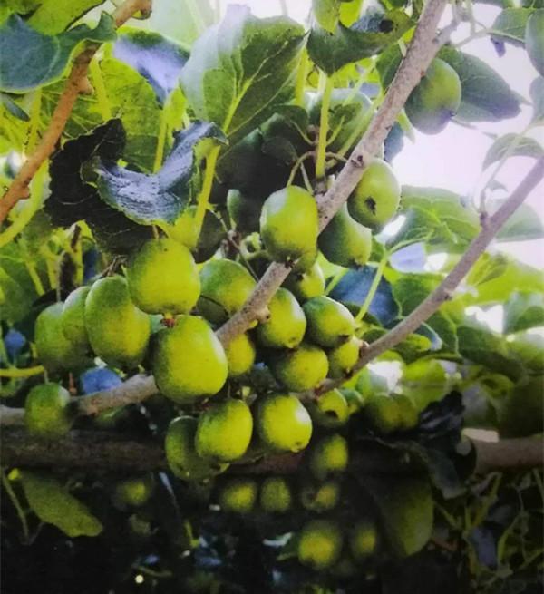 圆枣子果实即将成熟