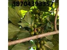 软枣猕猴桃苗结果展示