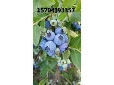 蓝莓大果果实成熟期