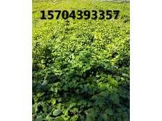 无刺黑莓育苗区