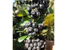 黑果腺肋花楸果实成熟